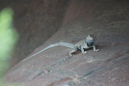 Lizard, Posing, Reptile, Wild, Green, Gecko, Stare