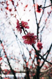 Asia, Japan, Sakura, Winter, Tree, Snow, Nature, Branch