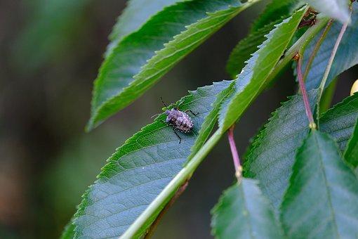 Bug, Marbled Tree Bug, Halyomorpha Halys, Stink Beetle