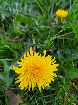 Yellow Flower, Dandelion, Plant Diuretic