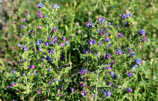 Hadinec, Echium Vulgare, Grass, Blue, Countryside
