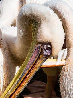 Pelican, Head, Close Up, Fauna, Nature
