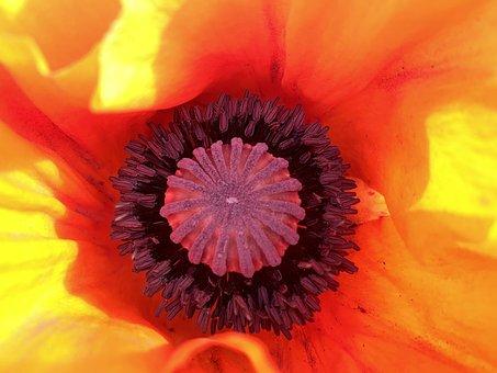 Blume, Blüte, Orange, Nature, Flower, Garden