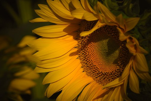 Sunflower, Flower, Agriculture, Yellow, Summer, Flowers