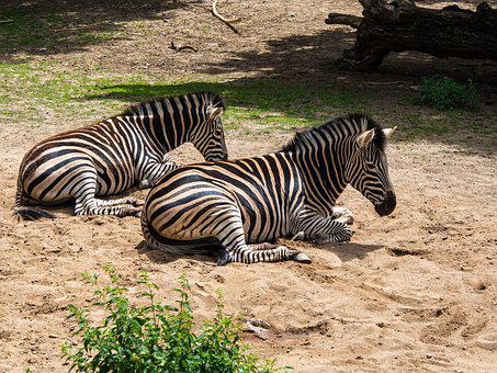 Zebra, Animal, Lichokopytník, Stripes, Striped, Black