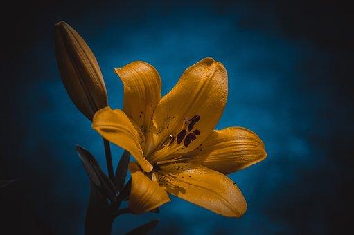 Lily, Chrysanthemum, Yellow, Flowers, Garden, Flower
