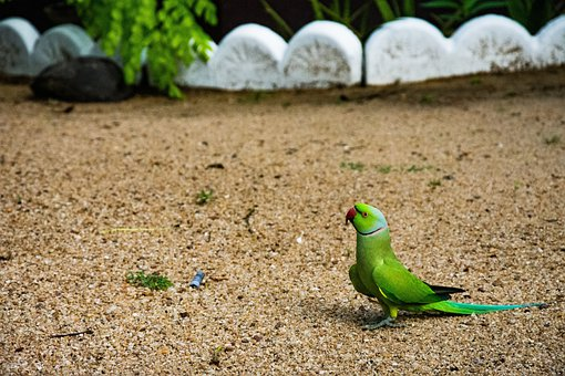 Parrot, Green, Bird, Ground, Sand