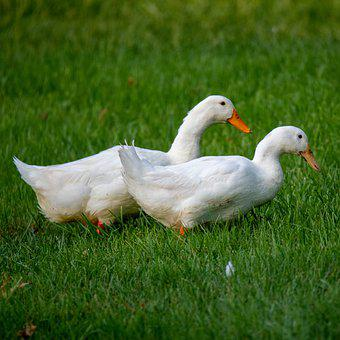 Duck, Pekin, Pekin Duck, American Pekin, White Duck