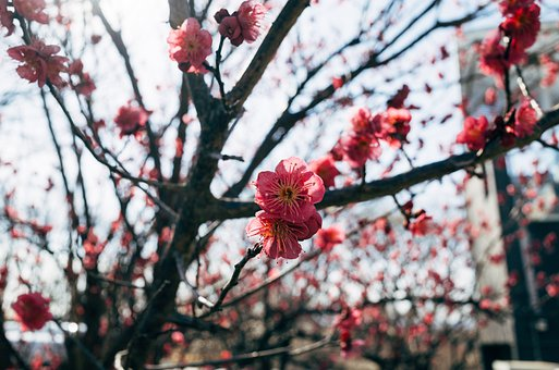 Asia, Japan, Sakura, Winter, Tree, Snow, Nature, Branch