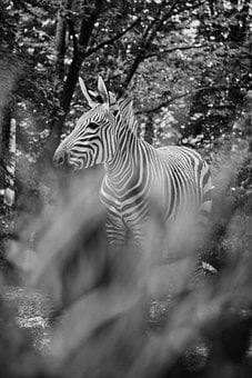 Zebra, Black And White, Nature, Wild Animal, Background