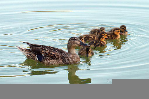 The Duck, Bird, Check Out The Chicks