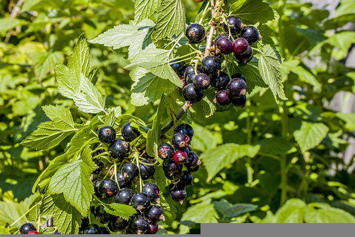 Currant, Branch, Green, Berry, Black, Nature