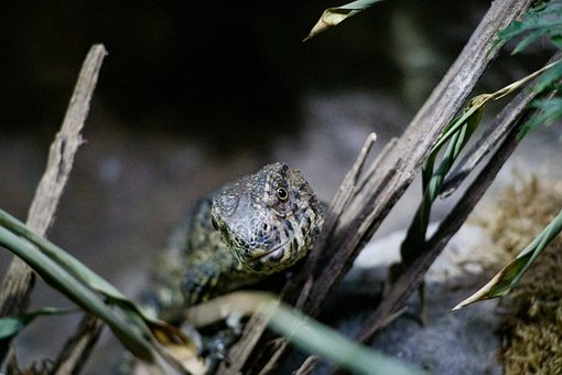 Lizard, Reptile, Animal, Scale, Dragon