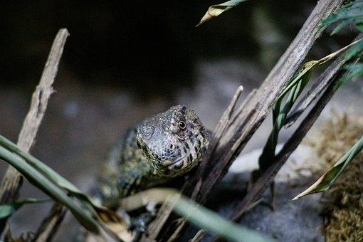 Lizard, Reptile, Animal, Scale, Dragon, Close Up