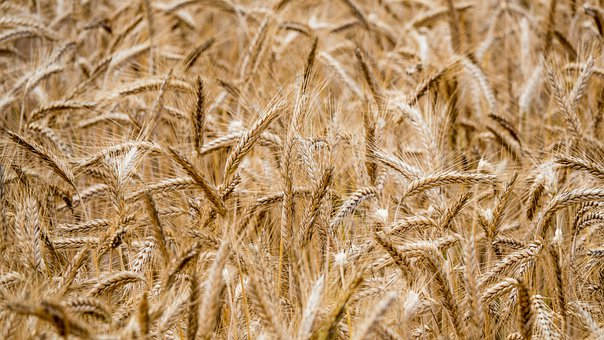 Grain, Field, Agriculture, Summer, Ripe, Food