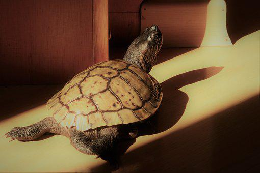 Tortoise, Animal, Music, Background, Wildlife, Turtle