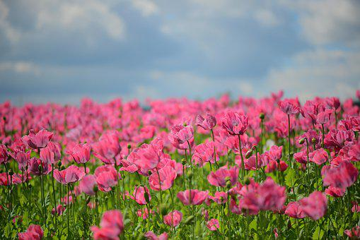 Poppy, Flora, Pink, Klatschmohn