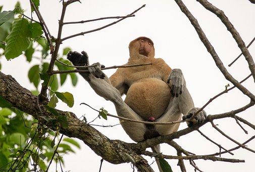 Proboscis Monkey, Male, Borneo