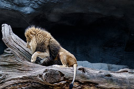 Lion, Predator, Africa, Animal, Animal World, Zoo, Mane