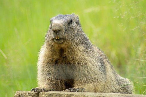 Marmot, Animal, Animal World, Nature, Rodent, Mammal