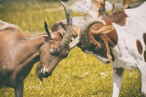 Goats, Play, Fight, Horns, Animal