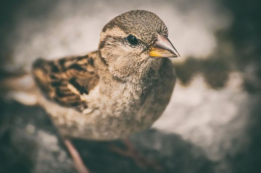 Sparrow, Bird, Sperling, Nature, Animal, Songbird