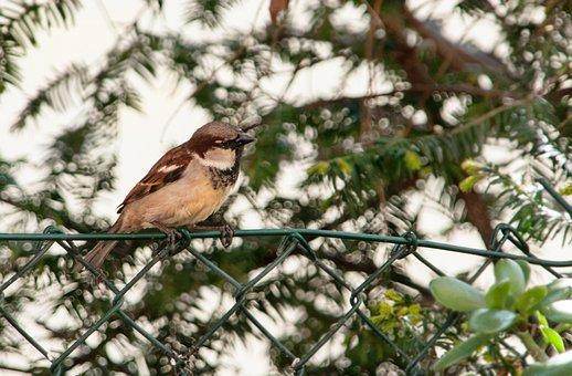 Sparrow, Sperling, Bird, Animal, Nature