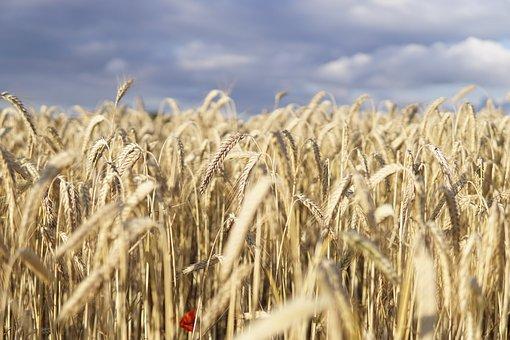 Wheat Field, Wheat, Field, Evening Sun, Clouds, Cereals