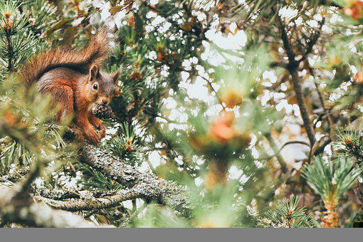 Squirrel, Animal, Tree, Pinecone, Nature, Cute, Wild