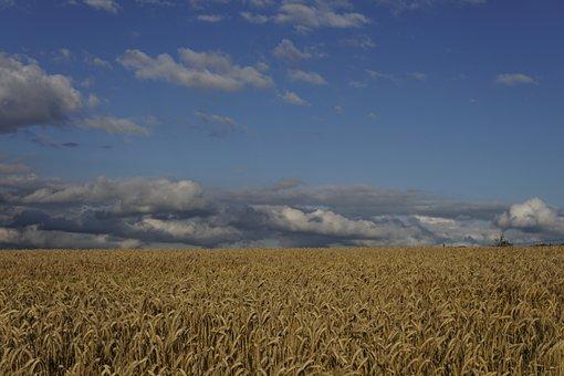 Wheat Field, Wheat, Field, Evening Sun