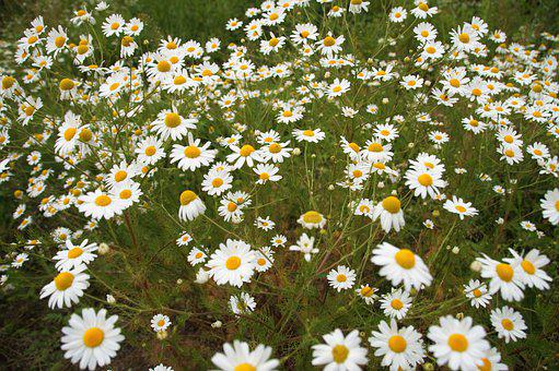 An Anthemis, Chamomile False, Weed, Herb, Flower