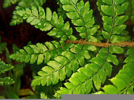 Fern, Foliage, Leaf, Frond, Green, Plant, Garden