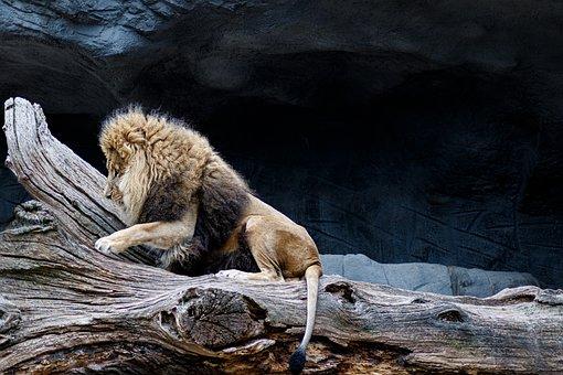 Lion, Predator, Africa, Animal World, Zoo, Mane