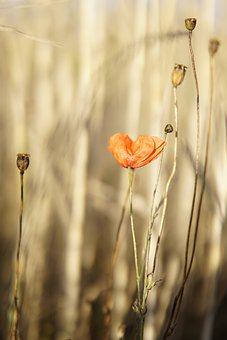 Poppy, Klatschmohn, Evening Sun, Golden Hour, Nature