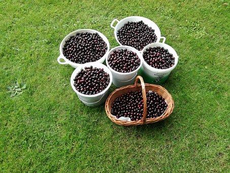 Cherries, Fruit, Red, Fresh, Healthy, Fruity, Summer
