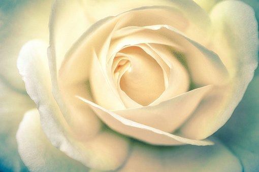 Rose, Rose Bloom, Leaf, Rosenblatt