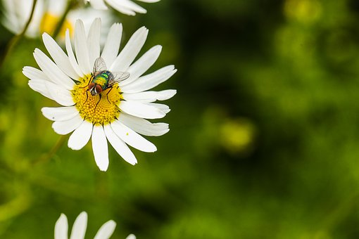 Fly, Insect, Bug, Daisy, Nature, Blossom, Summer