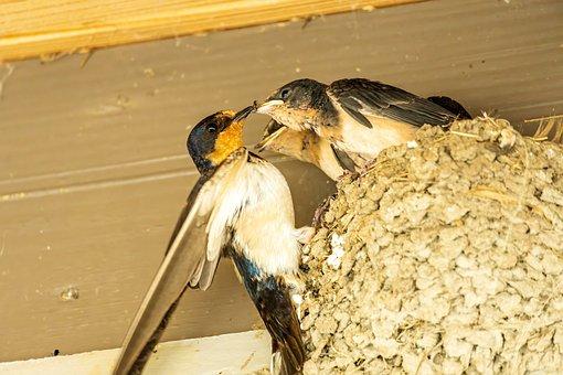 Barn Swallow, Swallow Nest, Swallow Feeding