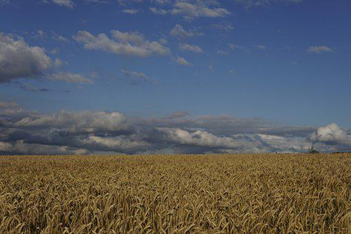 Wheat Field, Wheat, Field, Evening Sun, Clouds, Cereals