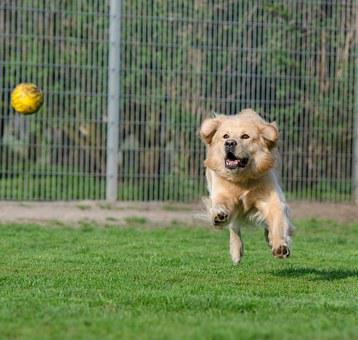 Golden Retriever, Animal Shelter, Dog Pension, Kennels