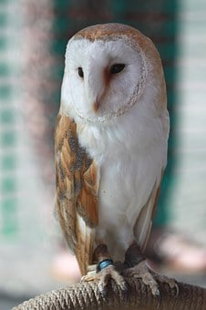 Barn Owl, Owl, Bird, Bird Of Prey, Hunter, Nocturnal