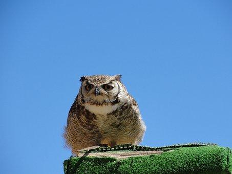 Owl, Bird, Inn