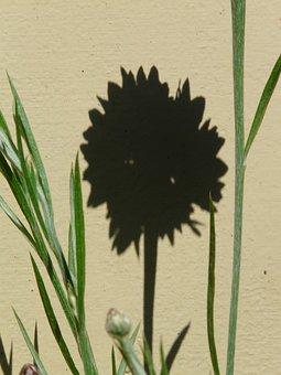 Cornflower, Hispanic, Shadow, Flower, Blossom, Bloom