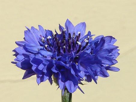 Cornflower, Blue, Flower, Blossom, Bloom, Summer