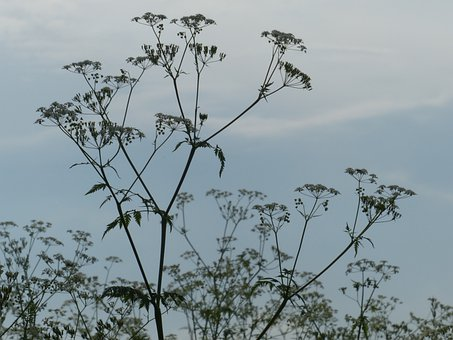 Cow Parsley, Blossom, Bloom, Backlighting, White