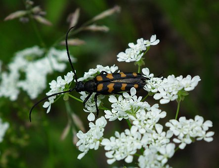 Longhorn Beetle, Bug, Beetle, Insect, Animal, Wildlife