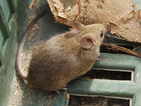 Mouse, Rodent, Malicious, Nimble, Cheese, Cellar
