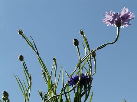 Cornflower, Stalk, Pink, Blue, Light Pink, Flower
