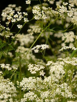 Cow Parsley, Chervil, Pointed Flower, Herb, Blossom