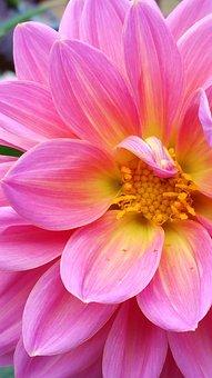 Dahlia, Pink, Flo, Flower, Blossom, Bloom, Nature